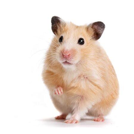 En hamster håller upp ena framtassen