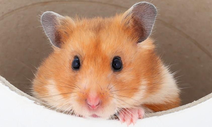 En hamster tittar ut ur en tunnel