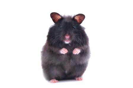 En svart hamster står upp på bakbenen