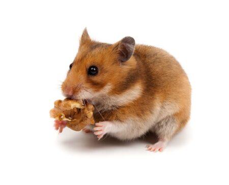 En hamster håller i en nöt
