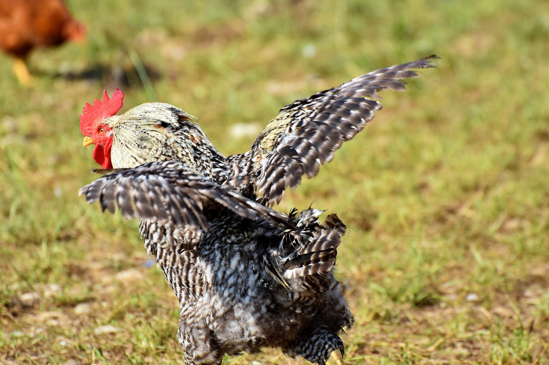 En svart og hvitprikket høne med rød kam og hakelapper som springer over gresset med vingene spredt, klar til å forsøke å fly.