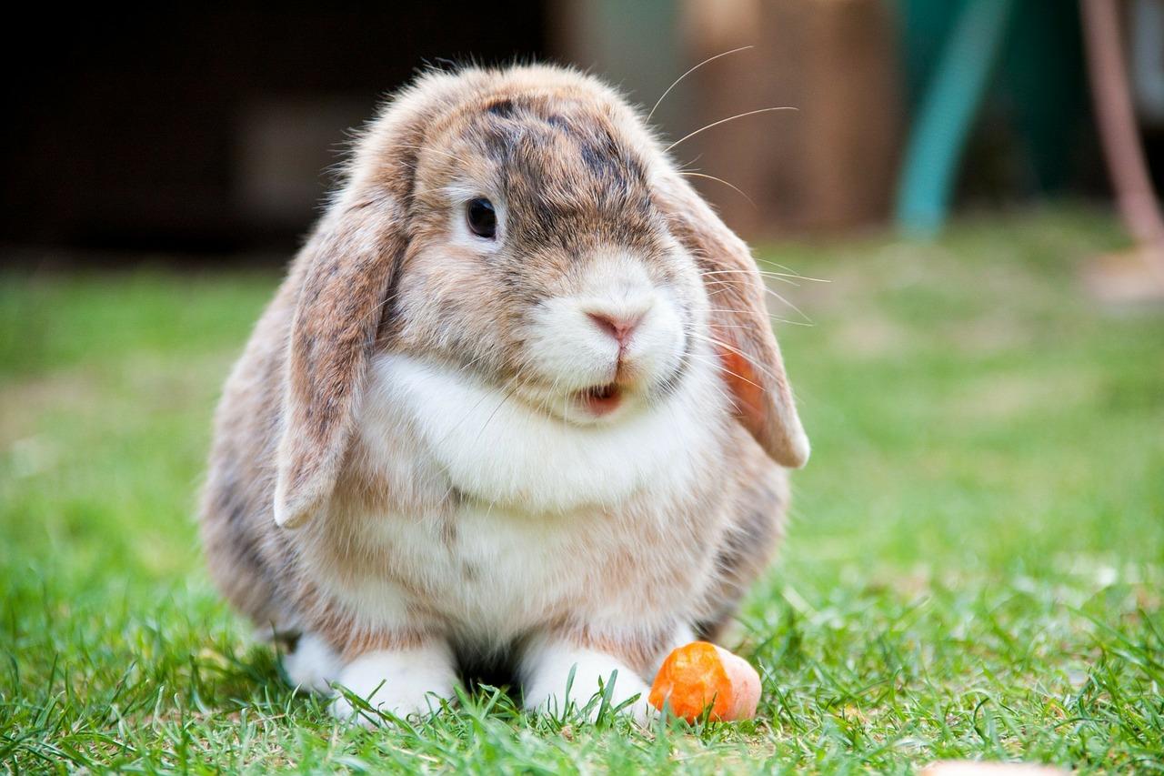 En beige og hvit, fluffy kanin som sitter på gresset med store, hengende ører, halvåpen munn og en halvspist gulrot ved labbene.