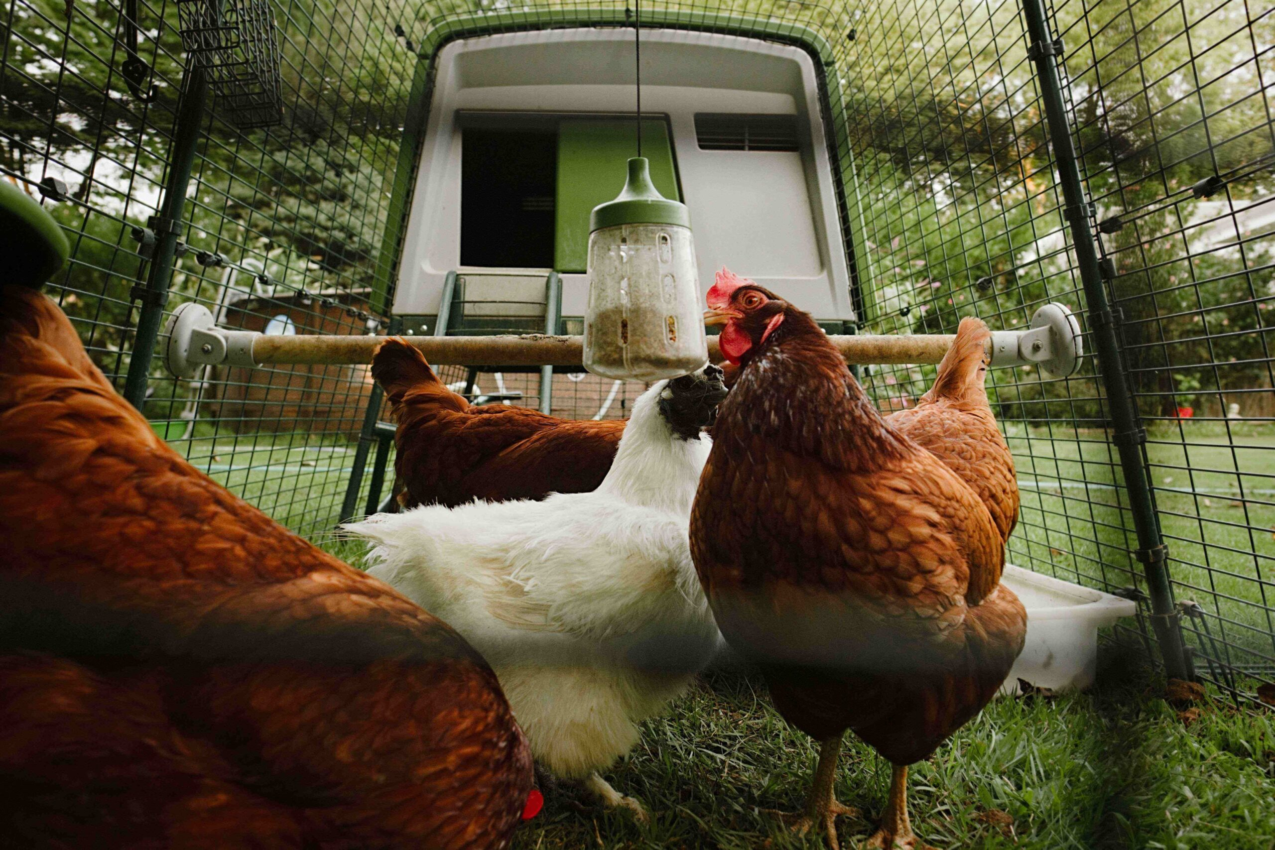 Fyra hönor i sin hönsgård med en pickleksak från Omlet