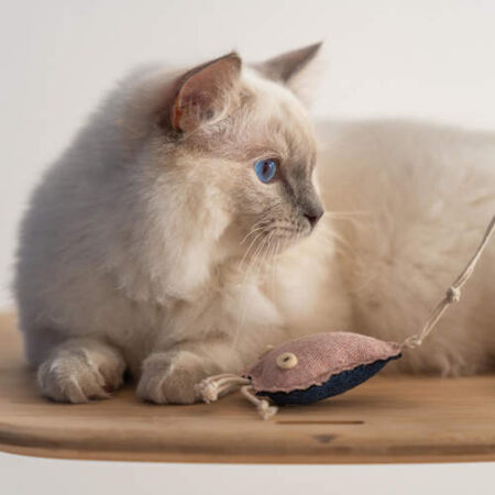 Katt som leker med en manet-leksak
