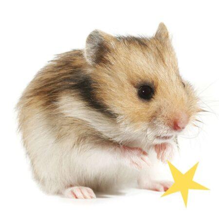 gullig hamster som tvättar sig
