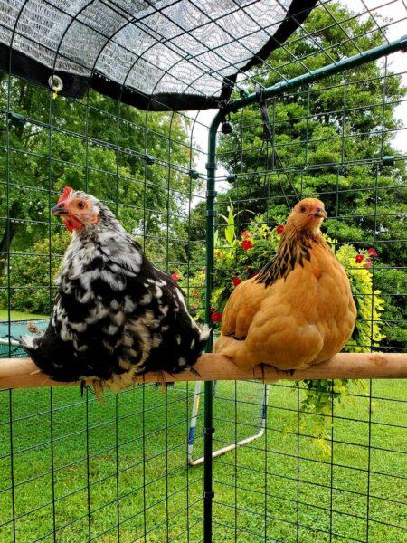 hur vet jag vilken höna som lägger ägg höna på sittpinne