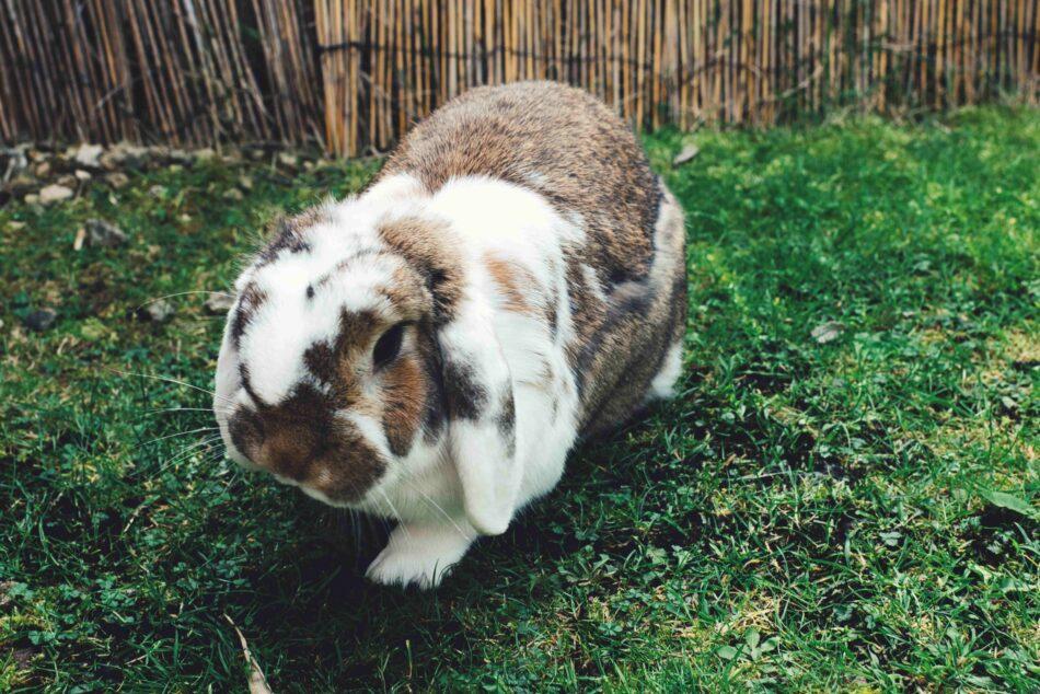 kanin med hängande öron går på en gräsmatta