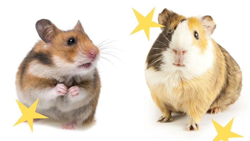 skillnader mellan hamstrar och marsvin