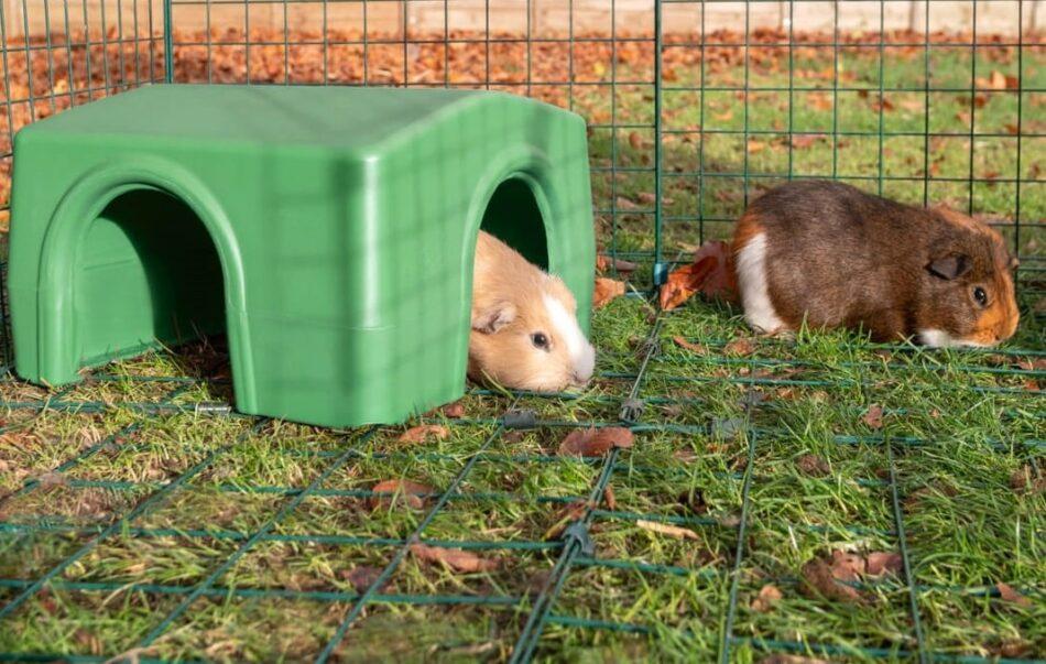 Två bruna marsvin i en utegård, en är i ett Zippi-gömställe från Omlet
