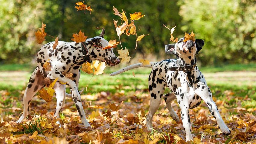 Två dalmatiner som leker i höstlöven