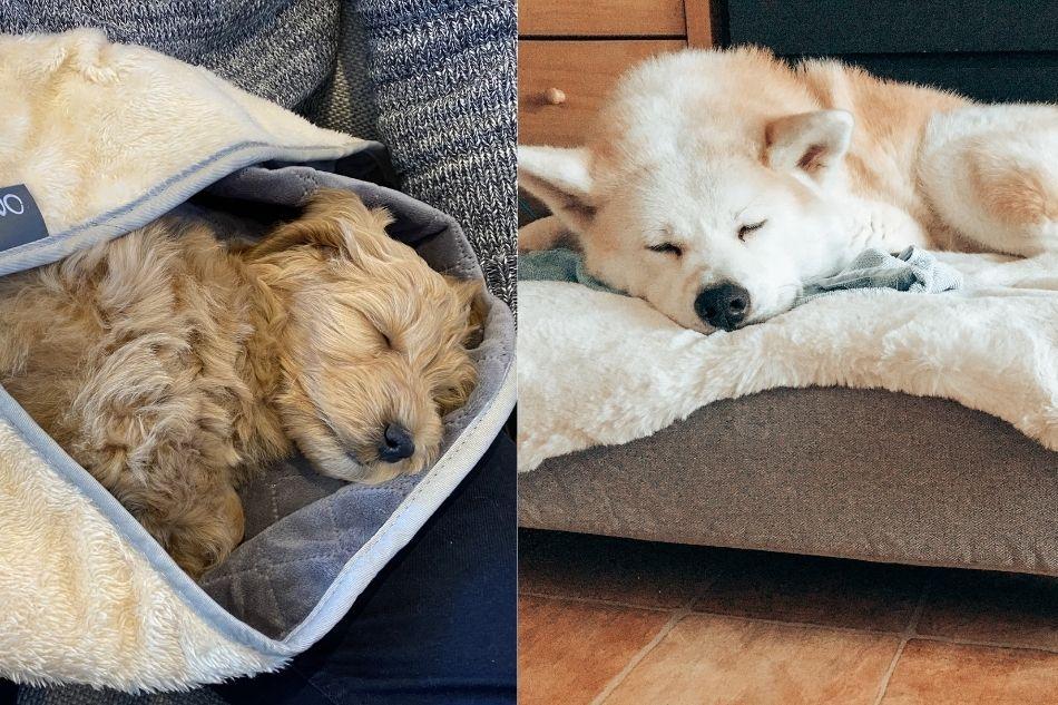 Två hundar som sover efter en höstpromenad